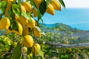 瀬戸内レモンで爽やかな夏を過ごしましょう。